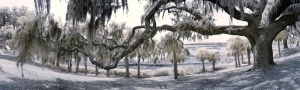 Infrared photograph of a live oak, 180 degree infrared panorama.
