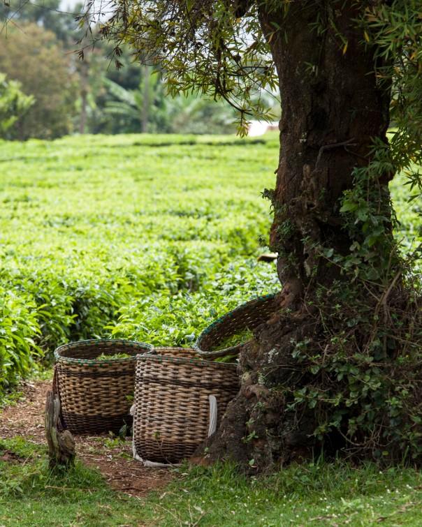 Baskets of fresh tea, Kimunye, Kenya