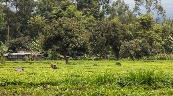 Workers in the tea fields, Kimunye, Kenya