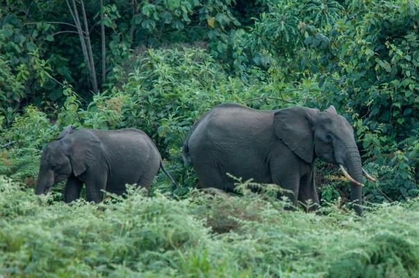 Forest elephants on Mount Kenya