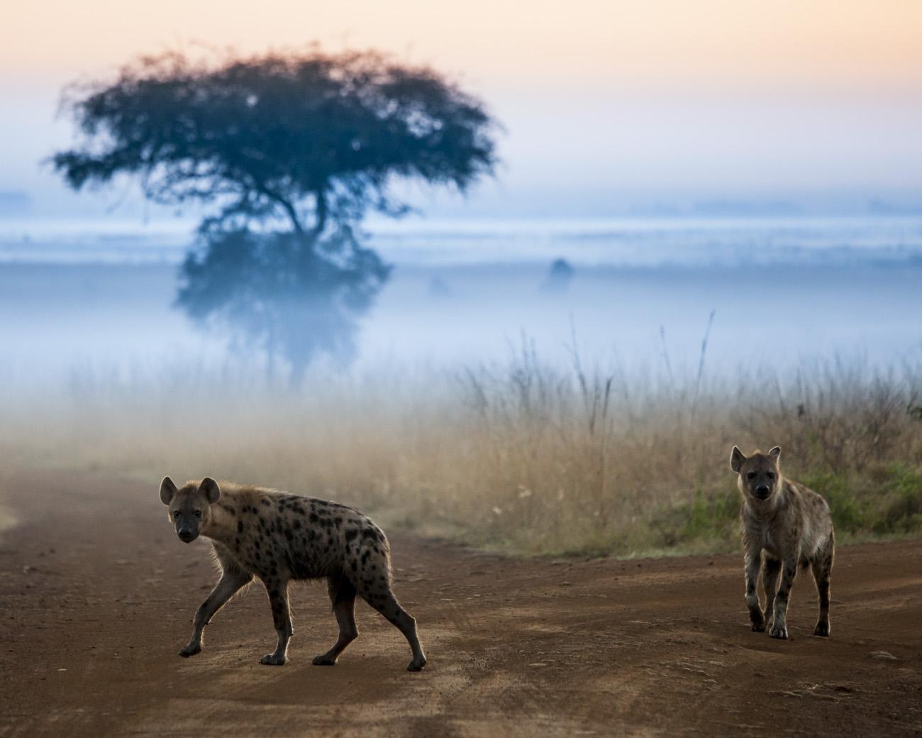 Hyenas at dawn in Kenya