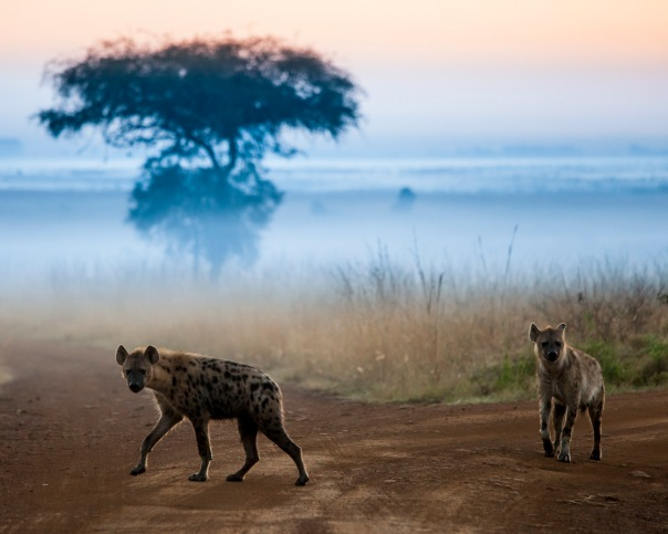 Hyenas at dawn in Kenya