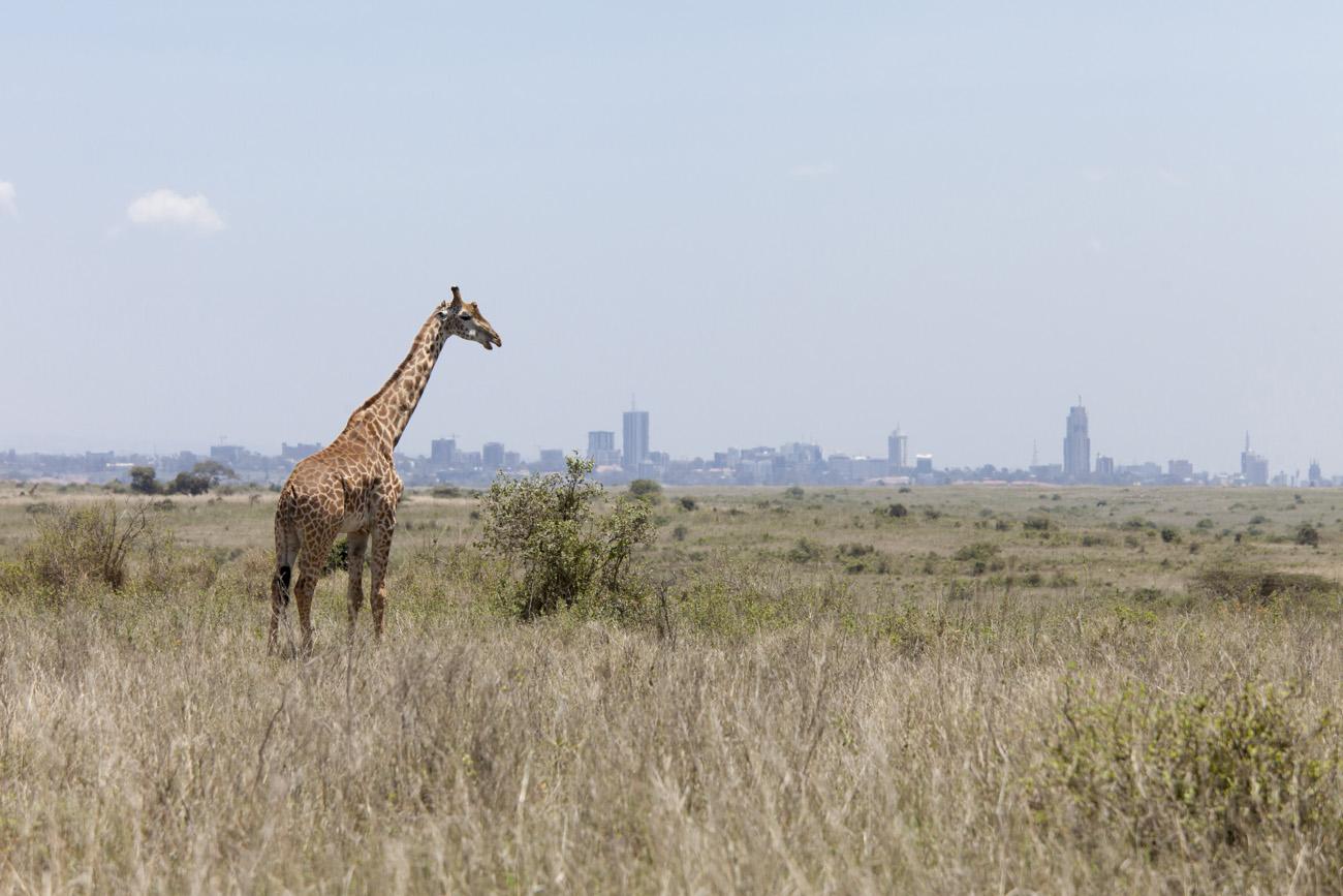 giraffe grazing with the skyline of Nairobi, Kenya in background