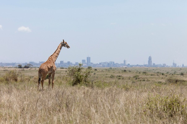 giraffe grazing with the skyline of Nairobi, Kenya in background