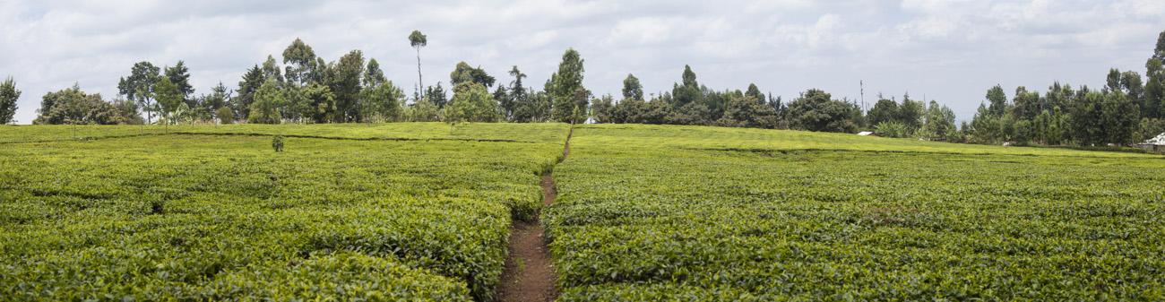 tea plantation on the slopes of Mt Kenya, Kenya