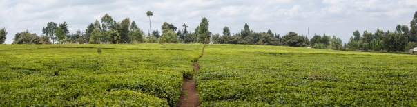 tea plantation on the slopes of Mt Kenya, Kenya