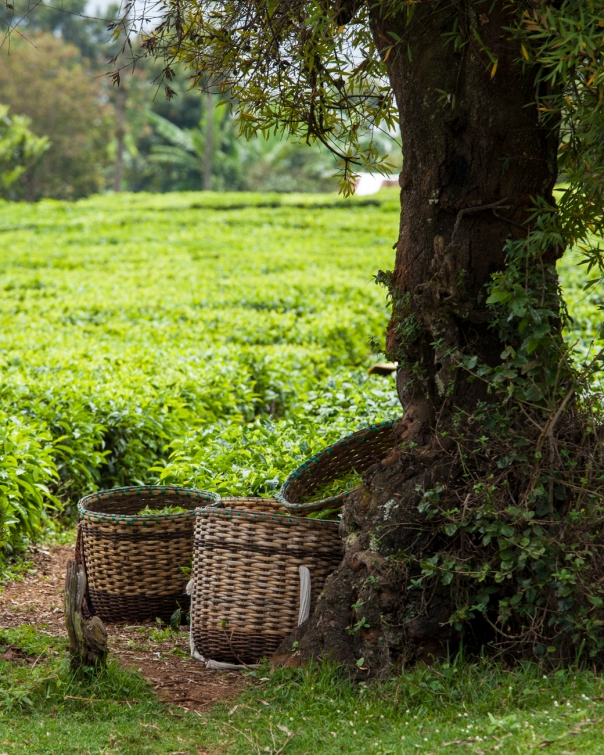 Baskets of fresh tea leaves sit under a tree in Kimunye, Kenya