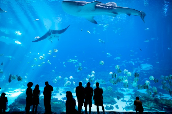 People watch as a whale shark and manta ray swim past at the Georgia Aquarium.